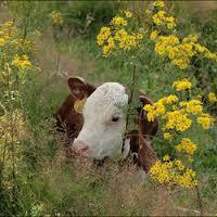 Vleesvee niet uitgezonderd bij fosfaatrechten