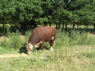 Begrazing natuurgebieden rendabeler met Herefords